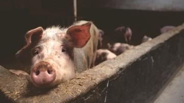 05-09-2016 13:18 Komisja rolnictwa za projektem specustawy dot. afrykańskiego pomoru świń