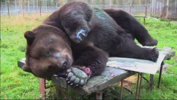 Malarz wagi ciężkiej. Obrazy niedźwiedzia Juuso w galerii sztuki