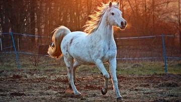 09-08-2017 16:05 Specjaliści w zakresie hodowli koni arabskich skreśleni z listy honorowej gości Pride of Poland