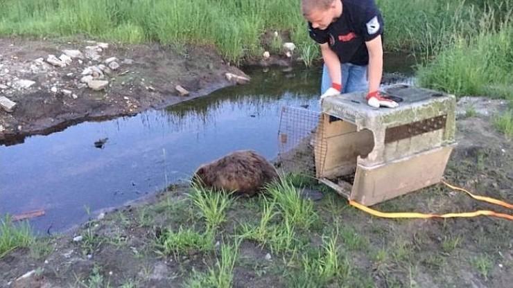 Drugie życie agresywnego bobra. Nie chciał do rzeki