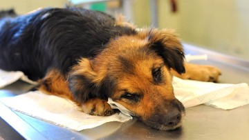 """11-02-2016 10:44 Postrzelony pies kilka dni czołgał się szukając ratunku. """"Mariupol? Syria? Nie, do cholery… polska wioska"""""""