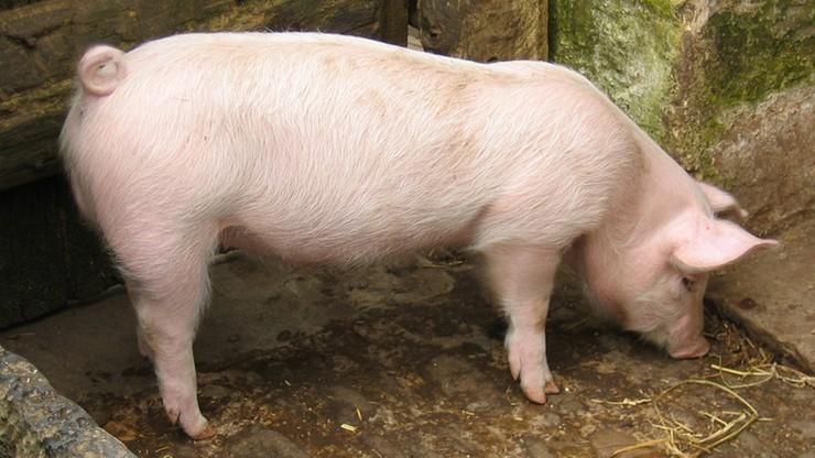 Branża mięsna zaniepokojona kolejnymi ogniskami ASF w Polsce