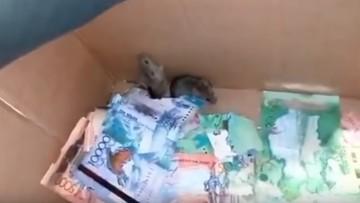 Tęgi mróz zmusił myszy do schronienia się w bankomacie. Zjadły pieniądze