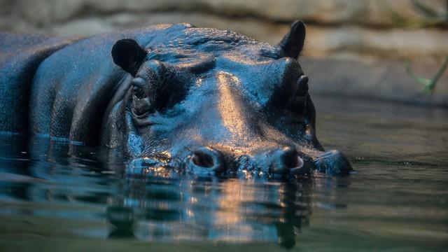 Podsłuchiwanie hipopotamów w warszawskim zoo