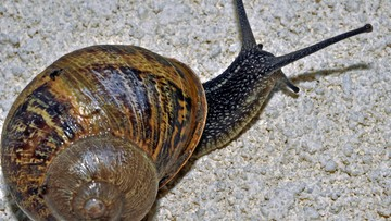 26-04-2016 09:37 W Polsce ślimaki popularniejsze od wieprzowiny. W czasach króla Jana III Sobieskiego