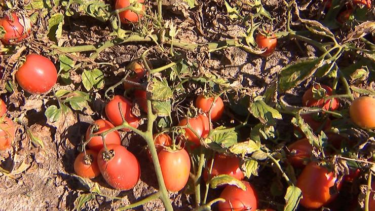 Nikt nie chce zbierać ani skupować pomidorów. Lądują na polach