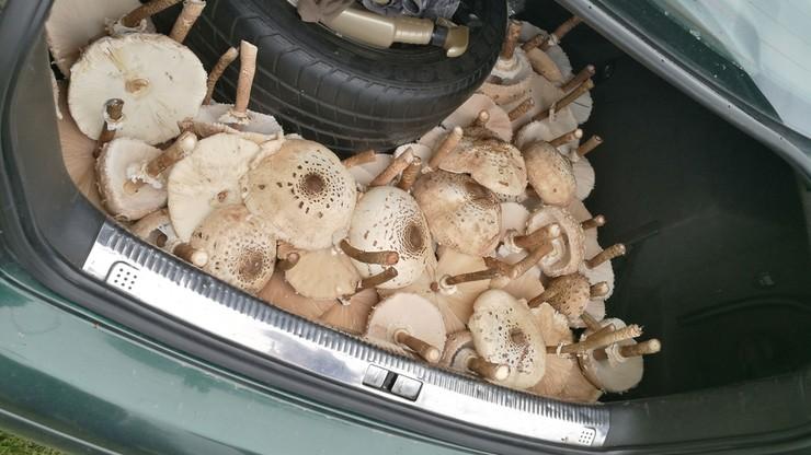 Bagażnik pełen kań. Udane grzybobranie w Dąbrowie pod Piotrkowem