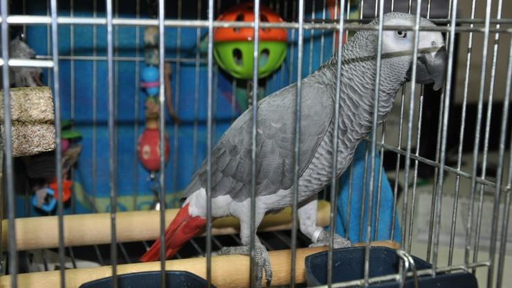 Papuga żako - z granicy do zoo