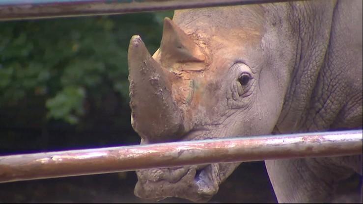 Nosorożce z Poznania zginą bezpotomnie? Próba zapłodnienia in vitro bez powodzenia