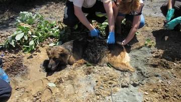 08-06-2016 21:30 Pies uwięziony w asfalcie. Zobacz akcję strażaków