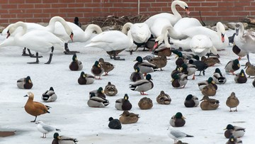 26-01-2017 09:47 W Lubuskiem ubito ponad milion sztuk drobiu z powodu ptasiej grypy
