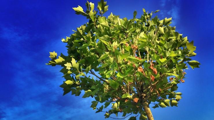 Mieszkańcy stolicy wskażą, gdzie zasadzić drzewo. Powstała specjalna aplikacja