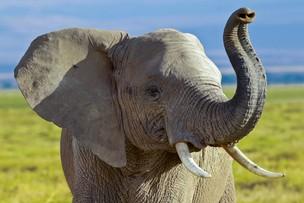 2017-11-18 Administracja Trumpa chce pozwolić na import trofeów ze słoni. Po fali krytyki prezydent zawiesza decyzję