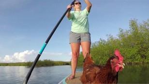 Floryda: kura na desce, ale nie takiej do krojenia