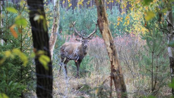 Uwolnienie jelenia, który zaplątał się w siatkę