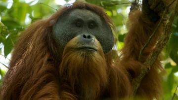 """07-11-2017 15:49 Odkryto nowy gatunek orangutana. """"To ekscytujące, opisywać nowy gatunek małp człekokształtnych w XXI wieku"""""""