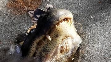"""""""Zamarzły"""" wystawiając jedynie paszcze. Aligatory próbują przetrwać rekordowe mrozy w USA"""