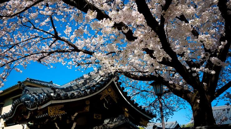 Japończycy zaczynają świętowanie. Zakwitły wiśnie