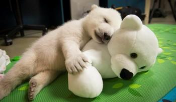 07-02-2016 11:46 Mały niedźwiadek opuszczony przez matkę. Zoo publikuje film z pierwszych tygodni życia misia