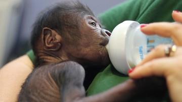 23-02-2016 22:18 Gorylica przyszła na świat w brytyjskim zoo. Pomógł ginekolog