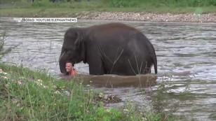 Słonica uratowała człowieka