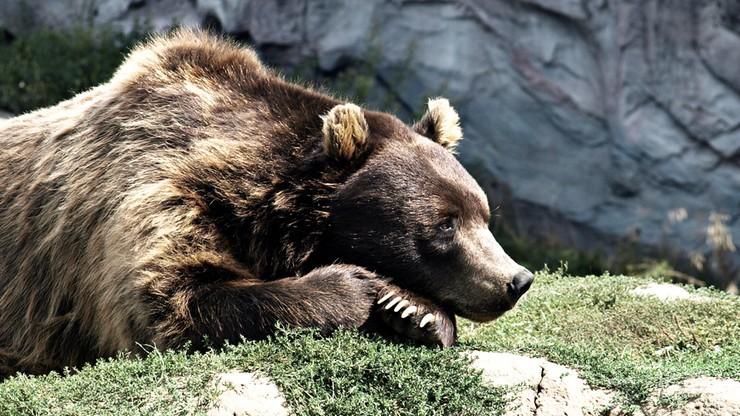 Niemiecka policja przejęła ostatniego w kraju niedźwiedzia cyrkowego