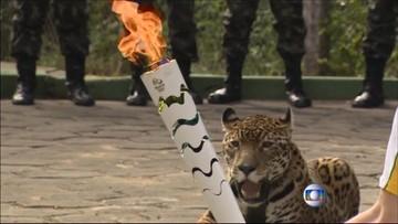 22-06-2016 13:21 Zastrzelili jaguara po ceremonii przekazania ognia olimpijskiego