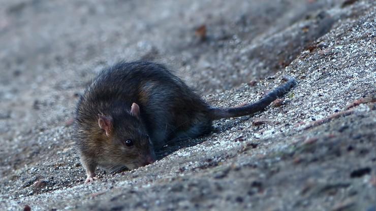Na poznańskiej starówce brakuje prądu. Energetycy obwiniają... szczury