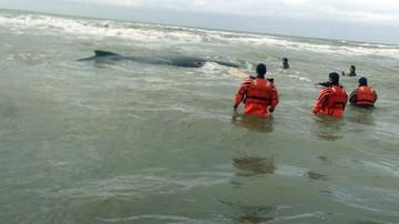 17-07-2016 08:40 Ratowali wieloryba ponad dobę. 10-tonowy ssak ugrzązł na mieliźnie