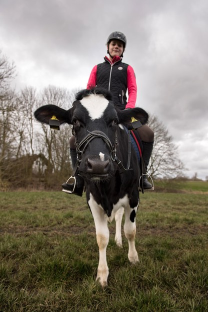 Tresowana krowa